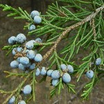Cedar_Juniper_Berries