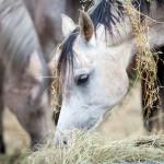horses-hay-piles